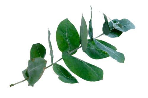 Eukalyptus doft